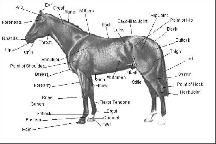 Worksheet Horse Anatomy Worksheet horse anatomy expert opinion carriage horses coalition for new york city animals